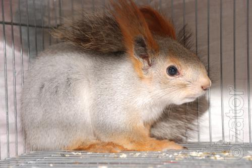 Protein, manual squirrels, Crimean squirrel and the flying squirrel