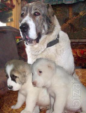 Central Asian shepherd puppies