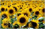 Sell planting material (seeds) corn and sunflower