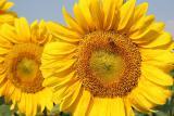 Sunflower seeds oil