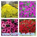 Sale flower seedlings in Ukraine, seedlings of flowers annual crops