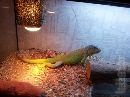 Sell green iguana