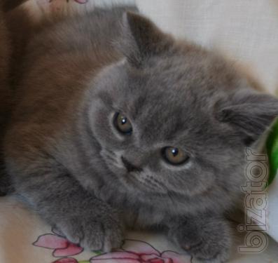 Scottish kittens