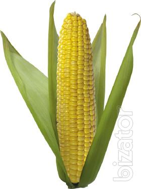 Corn seeds Monsanto hybrid (Monsanto)