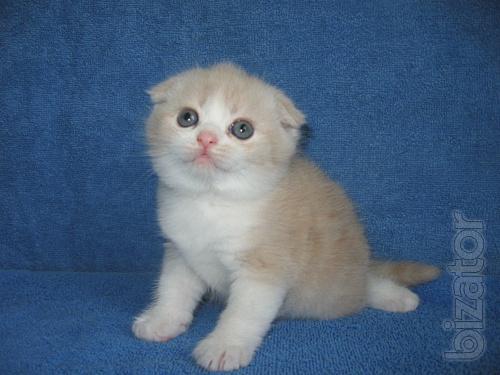 Scottish fold kitten, boy