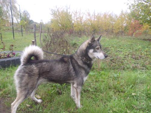 Ready for hunting and the work of trained dogs Huskies!
