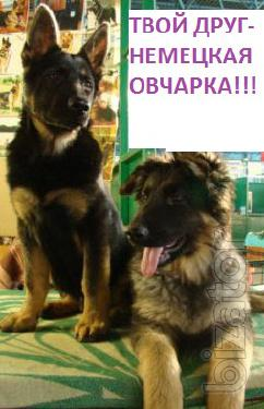 growing up puppies German shepherd!