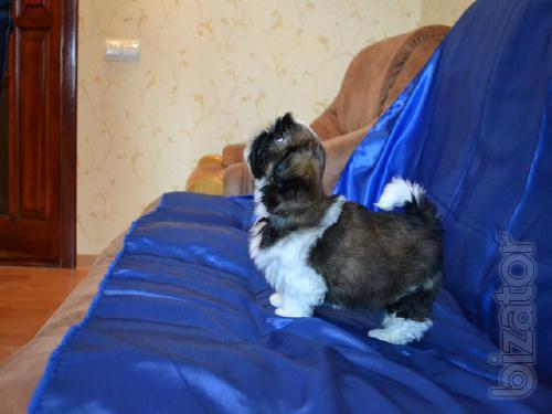 Puppy SHI-TZU bring joy and wealth. Shipping.