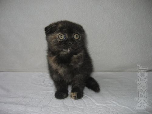 Gifts to prazdnikom Scottish kittens, to buy a kitten