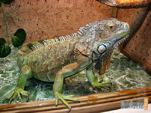 Crocodile, Caiman, Python, Boa, Iguana, Snakes you can buy from us. Sell