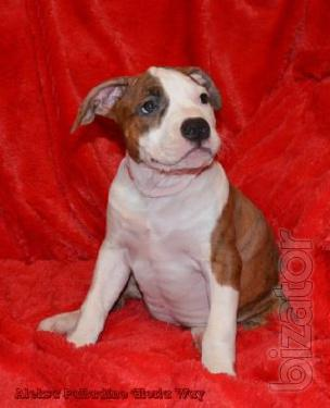 Gorgeous puppies American Staffordshire Terrier.Club puppies