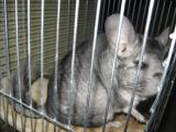 Will sell chinchilla (the girl) with the cell.