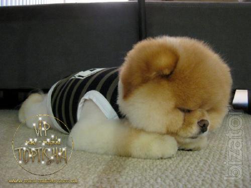 Exclusive puppies Pomeranian Spitz rare colors vip classa Type-Bear!