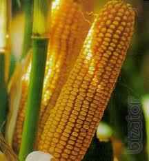 Corn DeKalb (Monsanto) DK 315 (FAO 310)