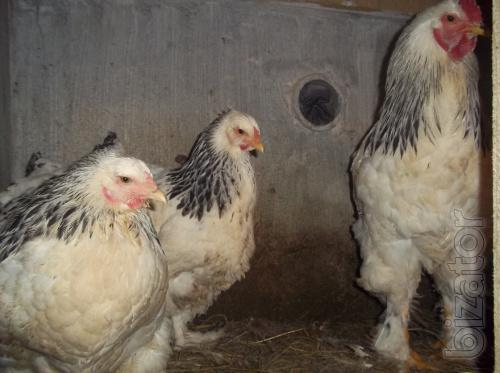Sell chickens breed Brahma and Cogency