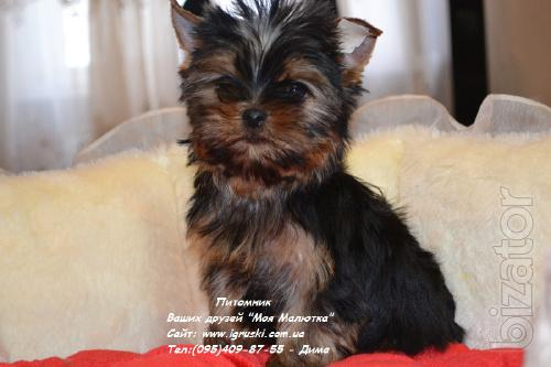 Exclusive Yorkshire Terrier puppies mini and standard