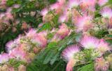 "The acacia, ""Frisia"", purple, spiral Tortuosa, Lankaran, Sophora ""Pendula""."