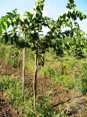 "Elm: variegated, curly pyramidal, deciduous, ""Pendula"""