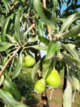 Pear evalita spherical