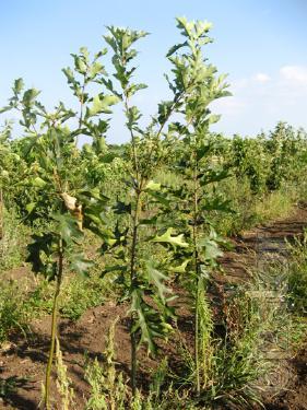 Red oak from Sadproekt seedlings