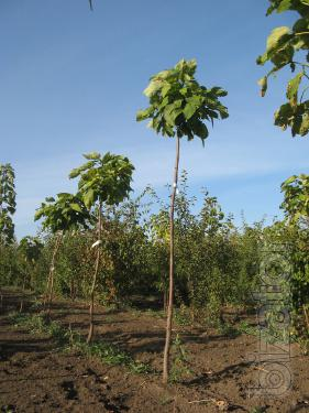 "Catalpa bignoniaceae of speciosa, ""Nana"". Seedlings"
