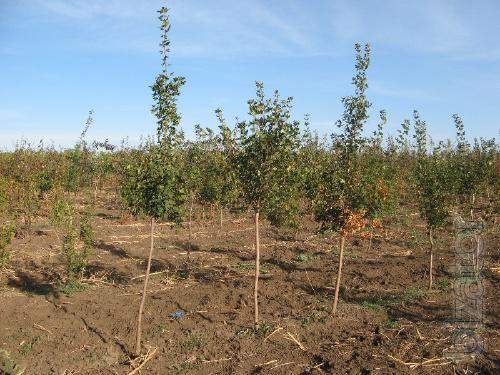 Maple: Tatar, field, velvet