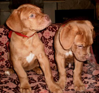 Sell puppies Bordeaux Mastiff