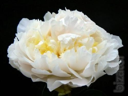 Sell peonies Herbaceous, Tree and ITOH hybrids