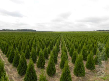 Arborvitae, Thuja occidentalis Smaragd 100-120 see hedges, thuja Kiev to buy