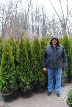 Arborvitae, thuja occidentalis, thuja emerald, thuja smaragd 160-180 cm, thuja Kiev to buy