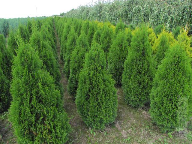 Arborvitae thuja occidentalis thuja emerald thuja smaragd 160 180 cm thuja kiev to buy buy - Thuja smaragd growth rate ...