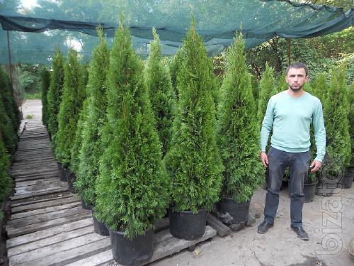 arborvitae, thuja occidentalis Smaragd 175-200 cm, thuja Kiev to buy, landscaping, hedges