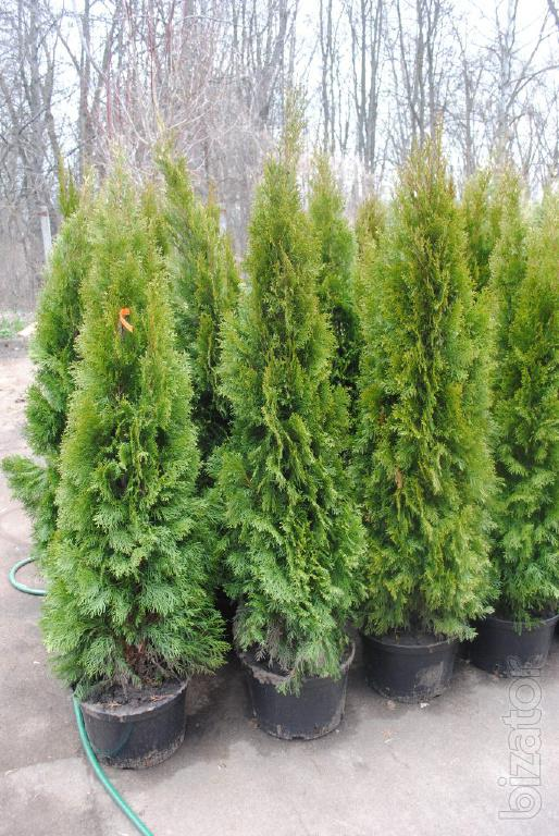 arborvitae thuja occidentalis smaragd 175 200 cm thuja kiev to buy landscaping hedges buy. Black Bedroom Furniture Sets. Home Design Ideas
