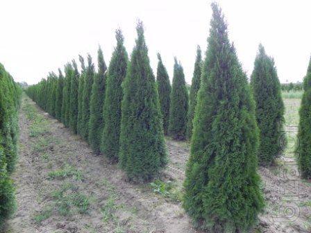 "Arborvitae, thuja occidentalis ""Smaragd"" 200-230 cm, thuja Kiev to buy a hedge"