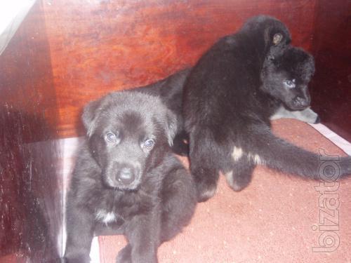 Sell puppies German shepherd.