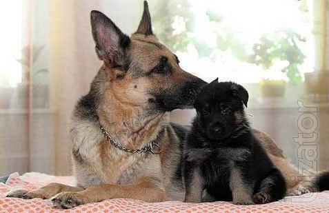 puppies, East-European shepherd!