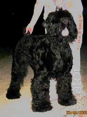 Russian black Terrier, puppies, dogs for mating