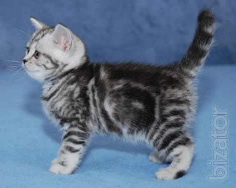 Kittens color Whiskas (black marble on silver)