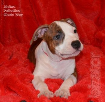 Charming Tigres puppy girl Staffers. Staffordshire Terrier