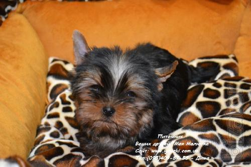 Exclusive Yorkshire Terrier puppies show quality!