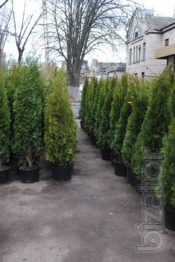 Arborvitae, thuja occidentalis emerald ( smaragd ), thuja price, thuja Kiev to buy