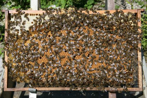 I will sell packages of bees