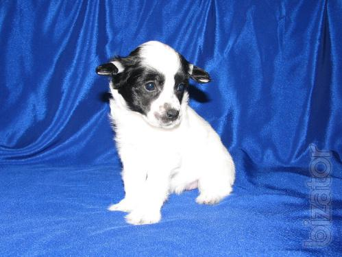 Beautiful and colorful Chinese crested puppies from titled parents!