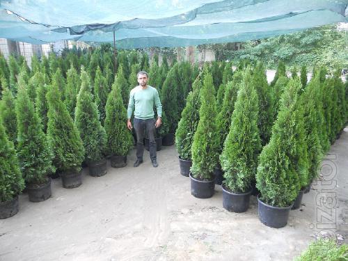 Arborvitae, thuja occidentalis, thuja Kiev to buy, thuja emerald 150-175 cm, landscaping