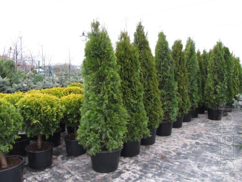 Arborvitae, thuja occidentalis Smaragd 200-230 cm, thuja Kiev to buy