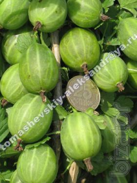the gooseberry seedlings resistant to mildew wholesale and retail