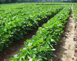 soy seeds early cultivar soundpalace