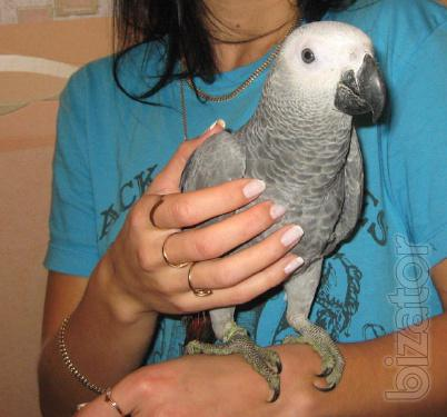 Red Jaco! The most intelligent and capable parrot! Intelligence at the level of a 3 year old child! As is Jaco, gray-eyed! Large, thick,