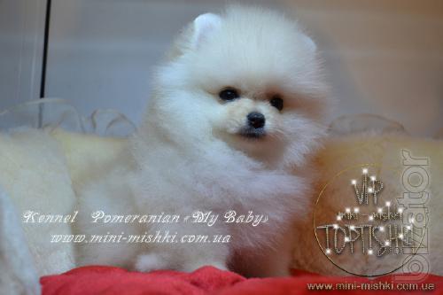 Puppies Pomeranian Spitz rare colors vip classa Type-Bear!
