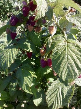 will sell seedlings raspberry varieties Polyana